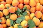 Сорт абрикоса: Сюрприз