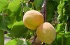 Сорт абрикоса: Уздень