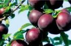 Сорт алычи: Фиолетовая десертная