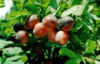 Сорт алычи: Оленька