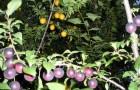 Сорт алычи: Пурпуровая