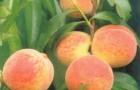 Сорт персика: Гринсборо