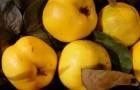 Сорт айвы: Анжерская