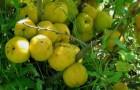 Сорт айвы: Маслянка ранняя