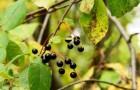 Сорт черемухи: Чёрный блеск