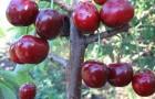 Сорт черешни: Мелитопольская чёрная