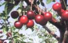 Сорт черешни: Рубиновая Никитина