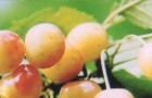 Сорт черешни: Золотухинская