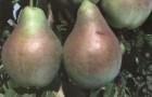Сорт груши: Аллегро