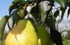 Сорт груши: Лира
