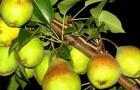 Сорт груши: Нальчикская Костыка (Нальчикская осенняя)
