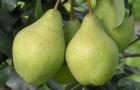 Сорт груши: Орловская летняя