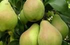 Сорт груши: Осенняя Сусова (Крупноплодная Сусова)