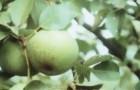Сорт груши: Память Паршина