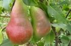 Сорт груши: Перун