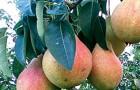 Сорт груши: Скороплодная