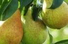 Сорт груши: Январская