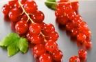Сорт красной смородины: Альфа