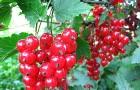 Сорт красной смородины: Бараба