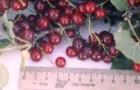 Сорт красной смородины: Ильинка