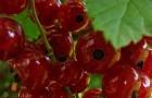 Сорт красной смородины: Константиновская (Память Смольяниновой)