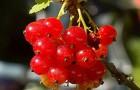 Сорт красной смородины: Кремовая