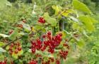 Сорт красной смородины: Лапландия