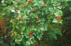 Сорт красной смородины: Мармеладница