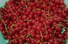 Сорт красной смородины: Ненаглядная