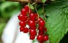 Сорт красной смородины: Орловская звезда
