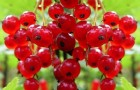 Сорт красной смородины: Памятная