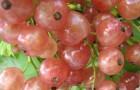 Сорт красной смородины: Прыгажуня