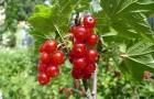 Сорт красной смородины: Рассветная