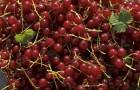 Сорт красной смородины: Розита