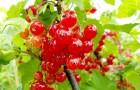 Сорт красной смородины: Скороспелая (Ранняя Фаворской)