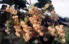 Сорт красной смородины: Уральская белая