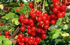 Сорт красной смородины: Йонкер ван Тетс (Jonkheer Van Tets, Джонхир ван Тетс)