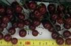 Сорт красной смородины: Зеро