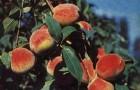 Сорт персика: Дагестанский золотой
