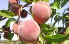 Сорт персика: Эльберта
