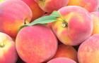 Сорт персика: Золотой юбилей