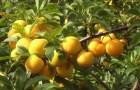 Сорт сливы китайской: Желтая Хопты