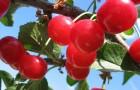 Сорт вишни обыкновенной: Аморель розовая
