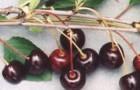 Сорт вишни обыкновенной: Брюнетка
