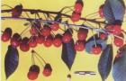 Сорт вишни обыкновенной: Булатниковская