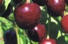 Сорт вишни обыкновенной: Чёрная крупная