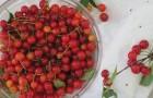Сорт вишни обыкновенной: Гномик