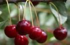 Сорт вишни обыкновенной: Гриот мелитопольский