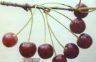 Сорт вишни обыкновенной: Игрицкая
