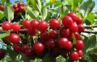 Сорт вишни обыкновенной: Калитвянка
